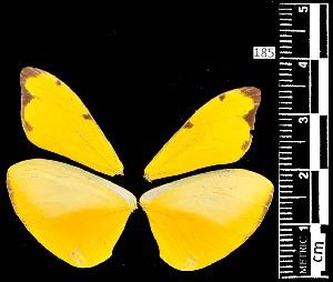(Enantia ssp3MEX - MAL-05488)  @11 [ ] Copyright (2012) Unspecified Museo de Zoologia, Facultad de Ciencias, UNAM