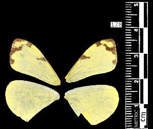 (Enantia ssp3MEX - MAL-05492)  @11 [ ] Copyright (2012) Unspecified Museo de Zoologia, Facultad de Ciencias, UNAM