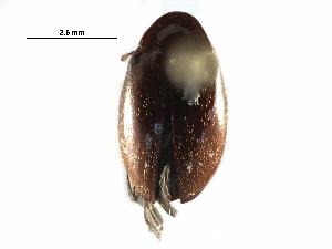 (Chelonariidae - BIOUG28869-H03)  @14 [ ] CreativeCommons - Attribution Non-Commercial Share-Alike (2016) BIO Photography Group Biodiversity Institute of Ontario