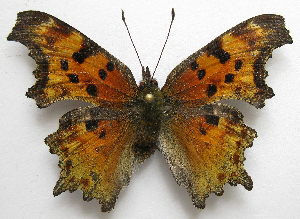 (Polygonia zephyrus - BIOUG06722-D02)  @13 [ ] CreativeCommons - Attribution Non-Commercial Share-Alike (2012) CBG Photography Group Centre for Biodiversity Genomics