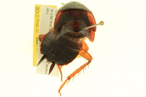 (Periplaneta fuliginosa - BIOUG02490-C08)  @13 [ ] CreativeCommons - Attribution Non-Commercial Share-Alike (2013) BIO Photography Group Biodiversity Institute of Ontario