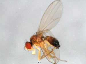 (Drosophila sp. TAW2 - BIOUG00819-D03)  @14 [ ] CreativeCommons - Attribution Non-Commercial Share-Alike (2011) BIO Photography Group Biodiversity Institute of Ontario