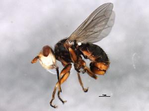 (Conopidae - BIOUG00825-E02)  @15 [ ] CreativeCommons - Attribution Non-Commercial Share-Alike (2011) BIO Photography Group Biodiversity Institute of Ontario