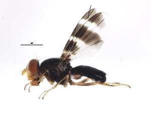 (Ulidiidae - BIOUG00855-D01)  @14 [ ] CreativeCommons - Attribution Non-Commercial Share-Alike (2011) BIO Photography Group Biodiversity Institute of Ontario