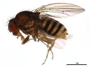 (Drosophila paramelanica - BIOUG00904-D07)  @13 [ ] CreativeCommons - Attribution Non-Commercial Share-Alike (2011) BIO Photography Group Biodiversity Institute of Ontario