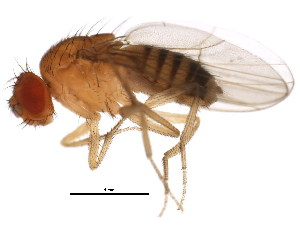 (Drosophila barbarae - BIOUG00978-B09)  @12 [ ] CreativeCommons - Attribution Non-Commercial Share-Alike (2011) CBG Photography Group Centre for Biodiversity Genomics