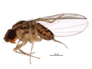(Drosophila busckii - BIOUG00978-C04)  @13 [ ] CreativeCommons - Attribution Non-Commercial Share-Alike (2011) CBG Photography Group Centre for Biodiversity Genomics