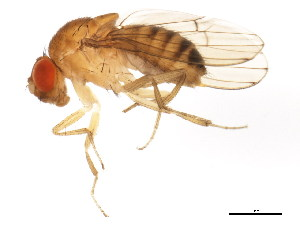 (Drosophila immigrans - BIOUG01336-G01)  @15 [ ] CreativeCommons - Attribution Non-Commercial Share-Alike (2011) CBG Photography Group Centre for Biodiversity Genomics