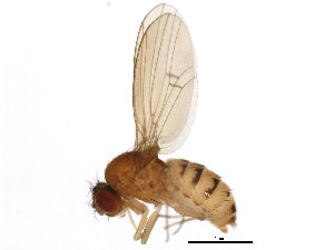 (Drosophila neotestacea - BIOUG01337-A03)  @15 [ ] CreativeCommons - Attribution Non-Commercial Share-Alike (2011) BIO Photography Group Biodiversity Institute of Ontario