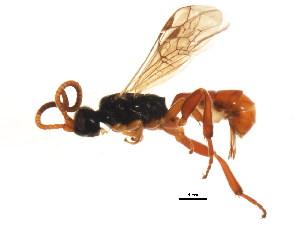 (Ichneumonidae sp. MAS BIN266 - BIOUG01093-B02)  @12 [ ] CreativeCommons - Attribution Non-Commercial Share-Alike (2011) BIO Photography Group Biodiversity Institute of Ontario