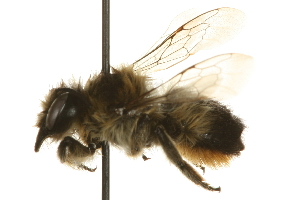 (Megachile giliae - JSYKB-012)  @11 [ ] CreativeCommons - Attribution Non-Commercial Share-Alike (2010) Unspecified Biodiversity Institute of Ontario