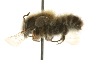 (Megachile giliae - JSYKB-015)  @11 [ ] CreativeCommons - Attribution Non-Commercial Share-Alike (2010) Unspecified Biodiversity Institute of Ontario