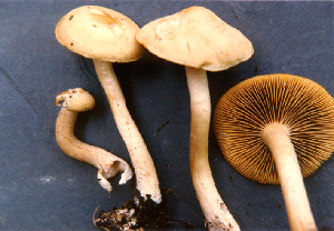 (Agrocybe sororia - TRTC52539)  @11 [ ] CreativeCommons - Attribution Non-Commercial Share-Alike (2010) Unspecified Royal Ontario Museum