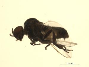 (Simulium tuberosum complex - 07PROBE-JW0052)  @13 [ ] CreativeCommons - Attribution Non-Commercial Share-Alike (2010) Unspecified Biodiversity Institute of Ontario