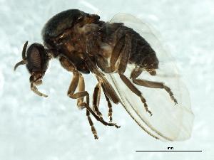 (Simulium anatinum/randalense - 09PROBE-JW1361)  @13 [ ] CreativeCommons - Attribution Non-Commercial Share-Alike (2010) Biodiversity Institute of Ontario 2010 Biodiversity Institute of Ontario