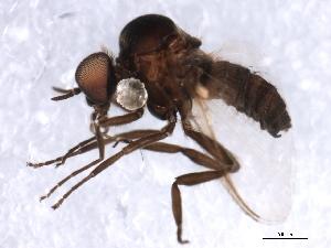 (Simulium anatinum/randalense - 09PROBE-JW1288)  @13 [ ] CreativeCommons - Attribution Non-Commercial Share-Alike (2010) CBG Photography Group Centre for Biodiversity Genomics