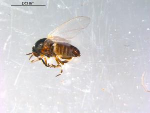 (Simulium venustum complex - 10PROBE-13102)  @14 [ ] CreativeCommons - Attribution Non-Commercial Share-Alike (2011) BIO Photography Group Biodiversity Institute of Ontario