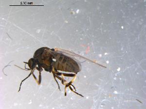(Simulium vittatum complex - 10PROBE-13760)  @13 [ ] CreativeCommons - Attribution Non-Commercial Share-Alike (2011) BIO Photography Group Biodiversity Institute of Ontario