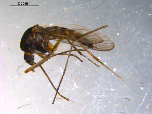 (Aedes abserratus - 10PROBE-13763)  @14 [ ] CreativeCommons - Attribution Non-Commercial Share-Alike (2011) BIO Photography Group Biodiversity Institute of Ontario