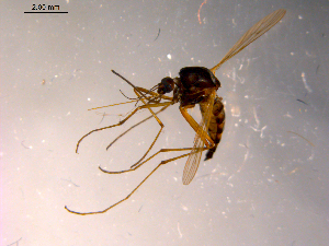 (Aedes hexodontus - 10PROBE-14200)  @14 [ ] CreativeCommons - Attribution Non-Commercial Share-Alike (2011) BIO Photography Group Biodiversity Institute of Ontario