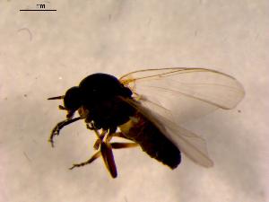 (Simulium noelleri - 10PROBE-15914)  @13 [ ] CreativeCommons - Attribution Non-Commercial Share-Alike (2011) BIO Photography Group Biodiversity Institute of Ontario