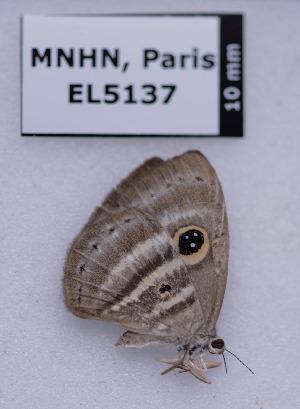 (Leucochinoma - EL5137)  @11 [ ] Creative Commons (2015) Rodolphe Rougerie Muséum national d'Histoire Naturelle, Paris