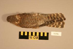 (Falco columbarius - UWBM 44262)  @14 [ ] Copyright (2008) Burke Museum of Natural History and Culture Burke Museum of Natural History and Culture