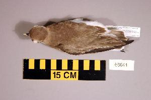 (Charadrius leschenaultii - UWBM 66641)  @14 [ ] Copyright (2008) Burke Museum of Natural History and Culture Burke Museum of Natural History and Culture