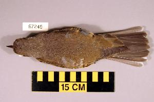 (Turdus viscivorus - UWBM 57249)  @14 [ ] Copyright (2008) Unspecified Burke Museum of Natural History and Culture