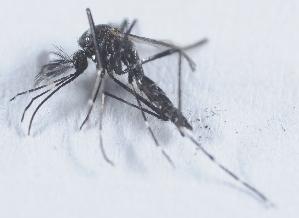 (Aedes metallicus - 14702-AedkeA06)  @13 [ ] Copyright (2012) Yvonne U Ajamma icipe