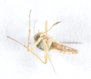 (Mimomyia - 14702-MisplC03)  @13 [ ] Copyright (2012) Yvonne U Ajamma icipe
