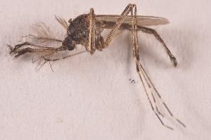(Aedes caspius - 20974_AeocaD01)  @13 [ ] Copyright (2013) Yvonne U Ajamma icipe