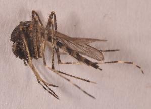 (Aedes hirsutus - 20974_AeocaD03)  @13 [ ] Copyright (2013) Yvonne U Ajamma icipe
