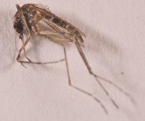 (Aedes cumminsi - 20974_AecumD07)  @13 [ ] Copyright (2013) Yvonne U Ajamma icipe