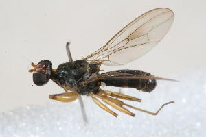 (Diopsidae - 13672-DiopsidC12)  @14 [ ] Copyright (2011) RS Copeland Unspecified