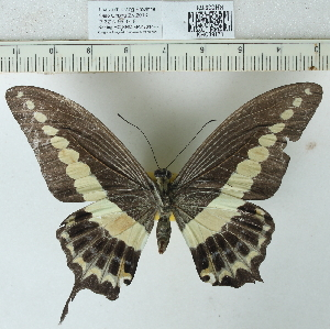 (Papilio demolion - CCDB03528_A02)  @11 [ ] No Rights Reserved  Unspecified Unspecified