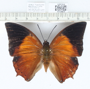 (Charaxes bemardus - CCDB03529_E03)  @11 [ ] No Rights Reserved  Unspecified Unspecified