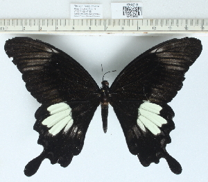 (Papilio sp. 1MKC - CCDB0329_A11)  @11 [ ] No Rights Reserved  Unspecified Unspecified