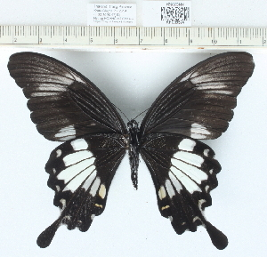 (Papilio sp. 1MKC - CCDB0329_A10)  @11 [ ] No Rights Reserved  Unspecified Unspecified
