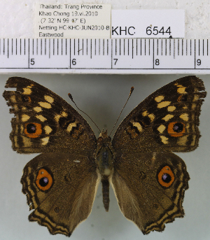 (Junonia lemonias lemonias - YB-KHC6544)  @14 [ ] No Rights Reserved  Unspecified Unspecified