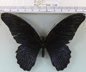 (Papilio memnon - YB-KHC6564)  @14 [ ] No Rights Reserved  Unspecified Unspecified