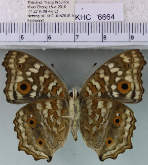 (Junonia lemonias lemonias - YB-KHC6664)  @14 [ ] No Rights Reserved  Unspecified Unspecified