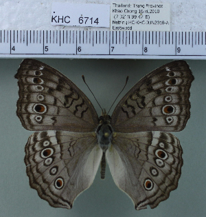 (Junonia atlites - YB-KHC6714)  @14 [ ] No Rights Reserved  Unspecified Unspecified