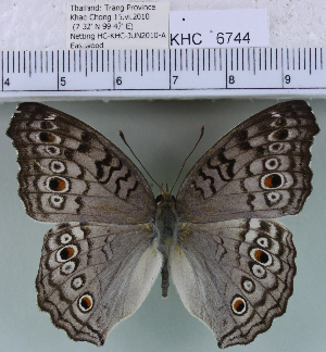 (Junonia atlites - YB-KHC6744)  @14 [ ] No Rights Reserved  Unspecified Unspecified