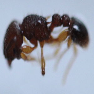 (Tetramorium sp. 14MKC - YB-KHC51262)  @11 [ ] No Rights Reserved  Unspecified Unspecified