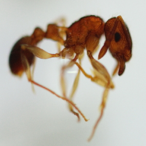 (Tetramorium sp. 9MKC - YB-KHC51277)  @11 [ ] No Rights Reserved  Unspecified Unspecified