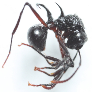 (Polyrhachis furcata - YB-KHC51412)  @11 [ ] No Rights Reserved  Unspecified Unspecified