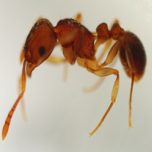 (Tetramorium sp. 15MKC - YB-KHC53140)  @11 [ ] No Rights Reserved  Unspecified Unspecified