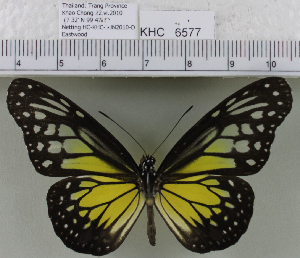 (Parantica aspasia - YB-KHC6577)  @14 [ ] No Rights Reserved  Unspecified Unspecified