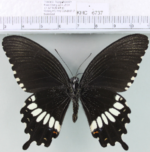 (Papilio polytes - YB-KHC6737)  @14 [ ] No Rights Reserved  Unspecified Unspecified